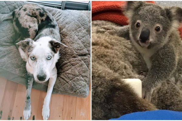 Journal Pets: Bear The Koala Dog pomaže u spašavanju koala u opožarenoj Australiji