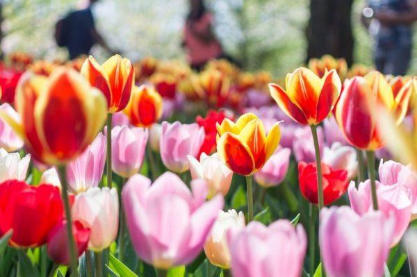 Ljubitelji cvijeća sada mogu virtualno uživati u prizorima procvalih nizozemskih tulipana