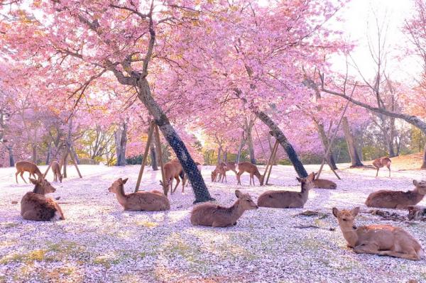 Journal Pets: Ovaj prizor jelena dok uživaju među trešnjama izgleda pomalo nestvarno