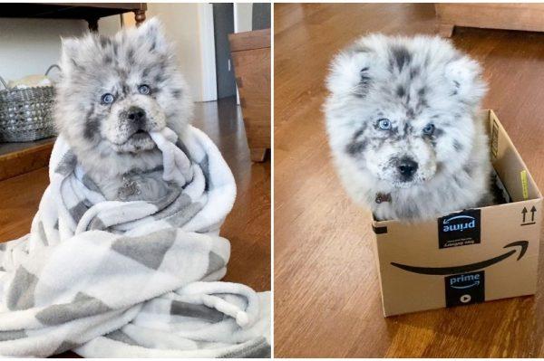 Journal Pets: Ovo preslatko štene je uistinu zaslužilo nadimak Oreo Cloud