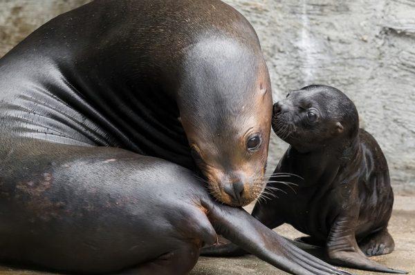 Journal Pets: Presladak, siv i naboran morski lav tek je došao na svijet