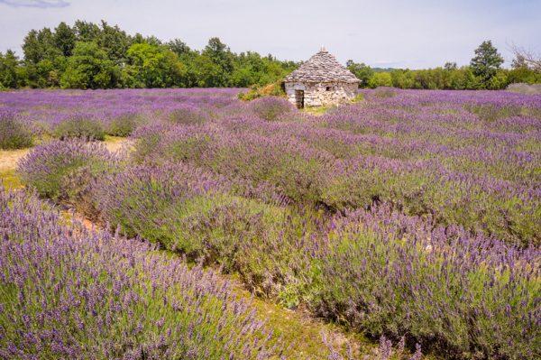 Prizori bajkovitih polja lavande u Istri ostavljaju bez daha