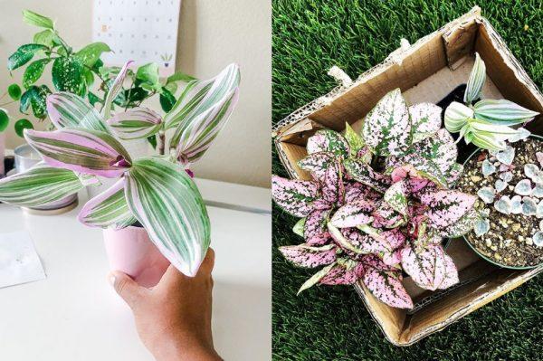 Prekrasna biljka s rozim listovima osvojila je internet, donosimo kako ju uzgojiti