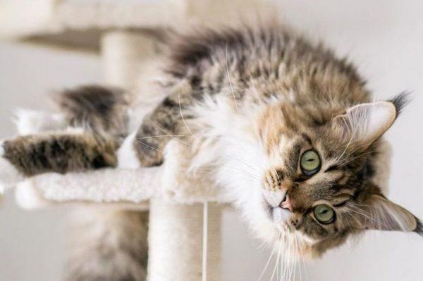 Journal Pets: Najljepši Instagram profili Maine coon kraljevskih šarmerica