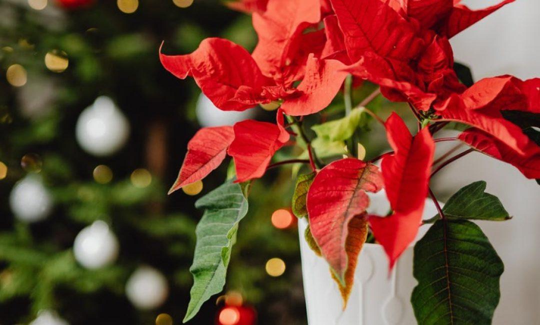 Ovo su najpopularnije božićne biljke na Instagramu