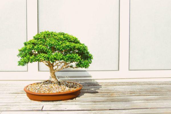Journal biljka mjeseca: Bonsai – drvo koje simbolizira smirenje i harmoniju