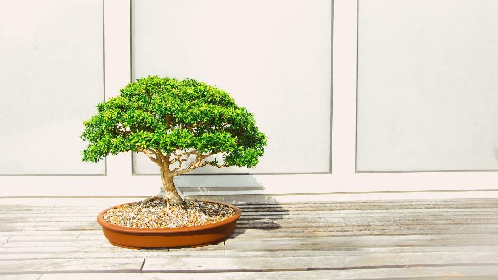bonsai naslovna