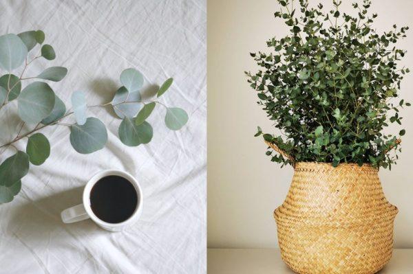 Journal biljka mjeseca: Eukaliptus grm