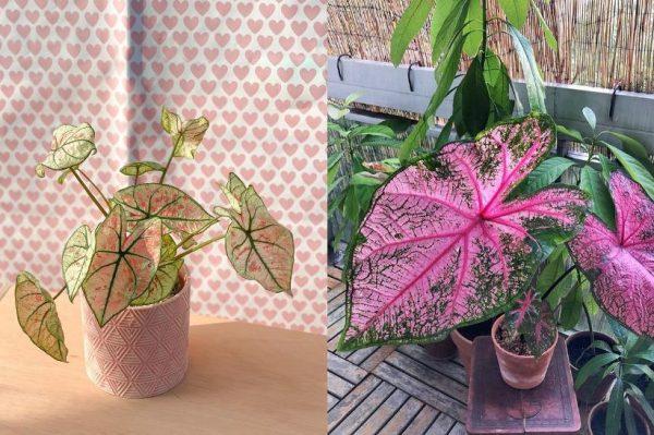Caladium – biljka koja izgleda kao pravo umjetničko djelo