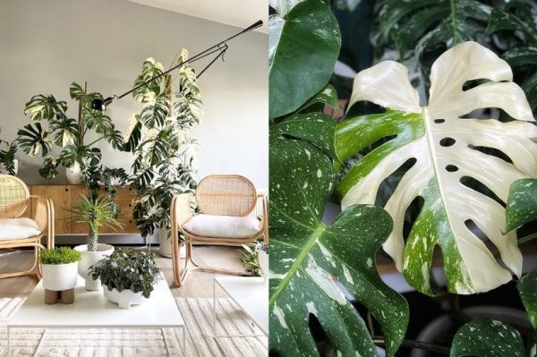 Journal biljka mjeseca: Monstera Deliciosa Albo Variegata