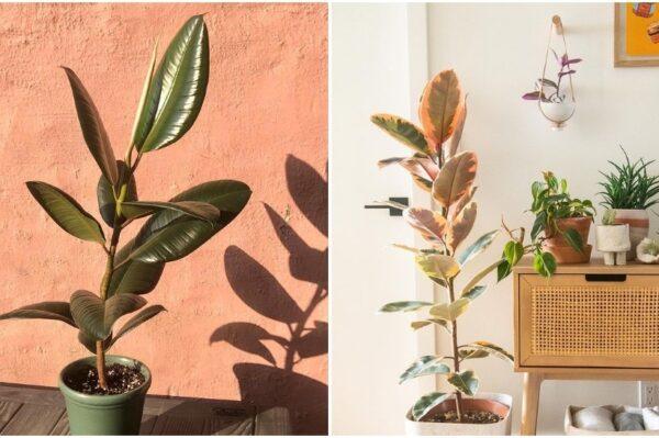 Fikus gumijevac jedna je od najpopularnijih biljaka, a evo i zašto