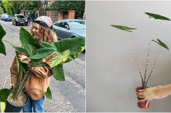 Alocasia Zebrina tropska je biljka koja se udomaćila u našim interijerima